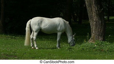 White Horse grazing on pasture - White horse with a bridle...
