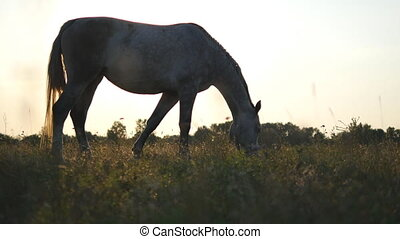 White horse grazing on the meadow. Horse is eating green grass in the field. Close up. Steadicam shot