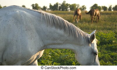 White horse grazing on the meadow. Horse is walking and eating green grass in the field. Close-up