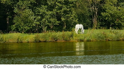 White horse grazing on the river bank