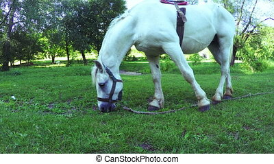 White horse grazing - In meadow white horse grazing