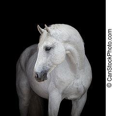 White horse head close up, on black
