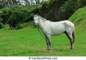 White Horse in a Farmers Meadow