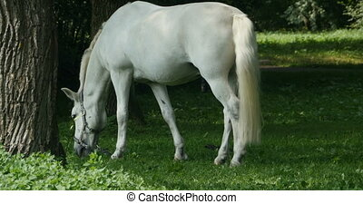 White horse in pasture - horse with a bridle in pasture