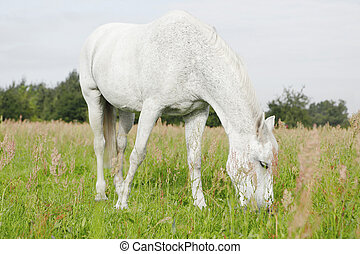 White Horse in the fields, eating, background out of focus