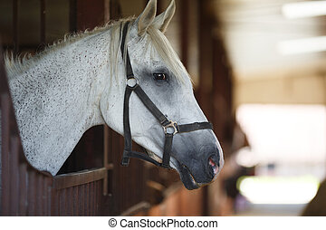 White horse in the stable - Head of horse looking over the ...