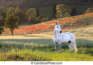 White horse in Tuscany