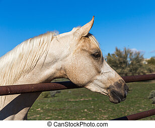 White Horse Looking Over Fence