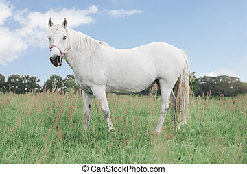 White horse looking
