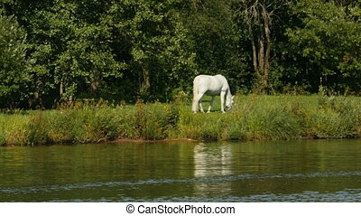 White horse on a pasture by the river