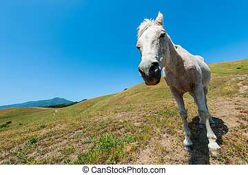 White horse on hillside field looking at camera