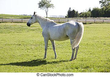white horse on pasture