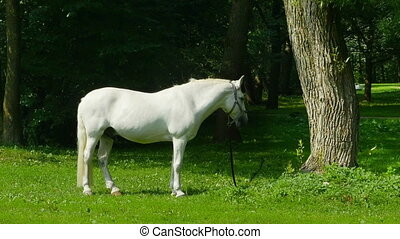 White horse on pasture - Beautiful white horse on a green...