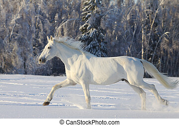 white horse in a winter running in snow