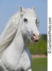 White horse portrait in field.