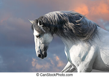 Andalusian horse with long mane run gallop close up