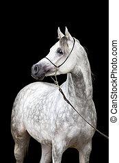 White horse portrait on black
