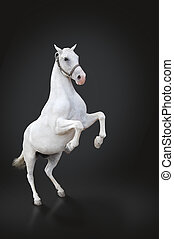 White horse rearing isolated