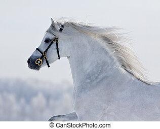 White horse running in winter