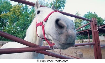 White horse sniffing to camera lens in the corral, slow...
