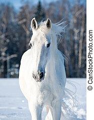 white horse - Portrait of snowy white horse in wintertime