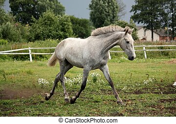 White horse trotting free at flower field - White andalusian...