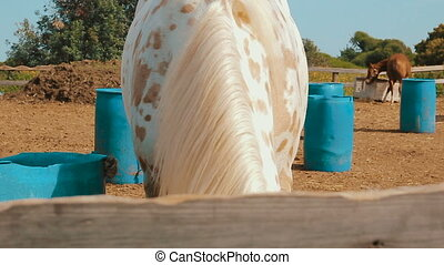 White horse with a burlap sack that covering his eyes eat...