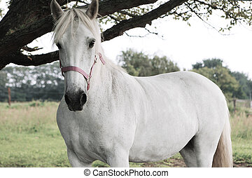 White horse with red halter