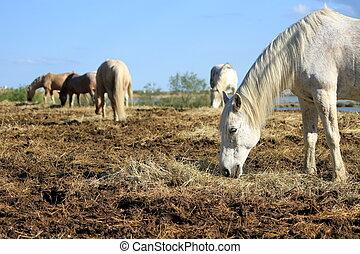 White horses eating, Camargue, France