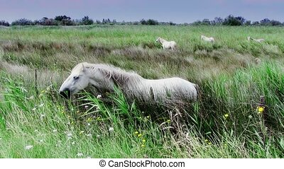 white horses in camargue - France, Camargue. Beautiful wild...