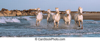 White horses in Camargue, France.