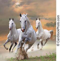 white horses in dust - white stallions in dust in a sunset