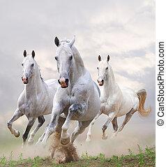 white horses in dust - white stallions in dust over a white