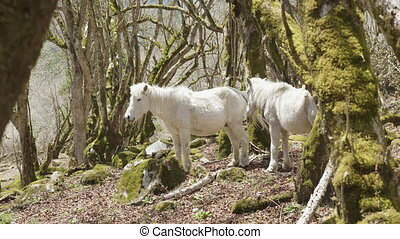 White horses in mysterious forest among the mountains in Nepal.