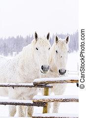 White horses in snow on the farm in Colorado.