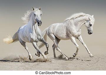 White horses run