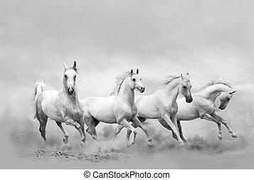 White horses running wild