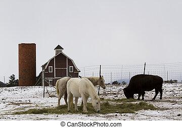 White horses - Two white horses and one buffalo grazing near...