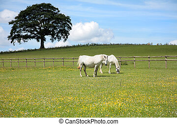 Two white horses grazing in a field of buttercups in summer with a blue sky and an oak tree (out of focus to the rear). Welsh Section C ponies.