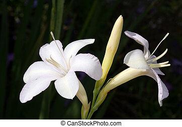 White hosta flower