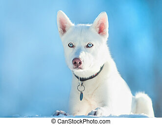 white huski dog on blue sky background