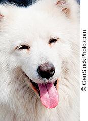 white husky 3