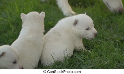 white husky puppies - puppies of white husky breed on green...