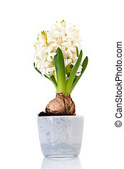 White Hyacinth - White hyacinth in flower pot isolated over ...