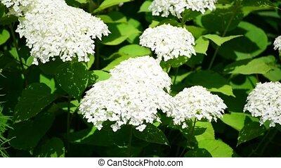 White hydrangea blooms profusely in garden - White hydrangea...