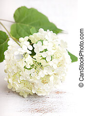 White hydrangea flower on a wooden vintage background