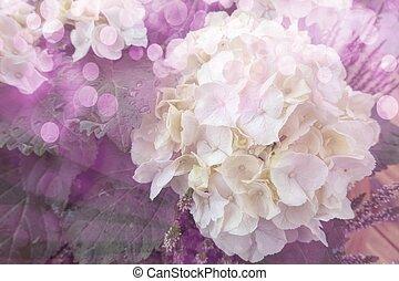 white hydrangea in bloom