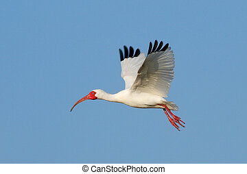 White Ibis flying in blue sky - White Ibis (Eudocimus albus)...
