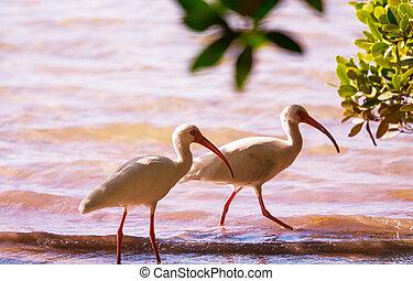 Ibis - White Ibis  in a Shallow Pond - Florida