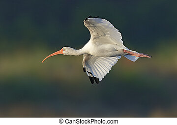 White Ibis in flight - Merritt Island, Florida